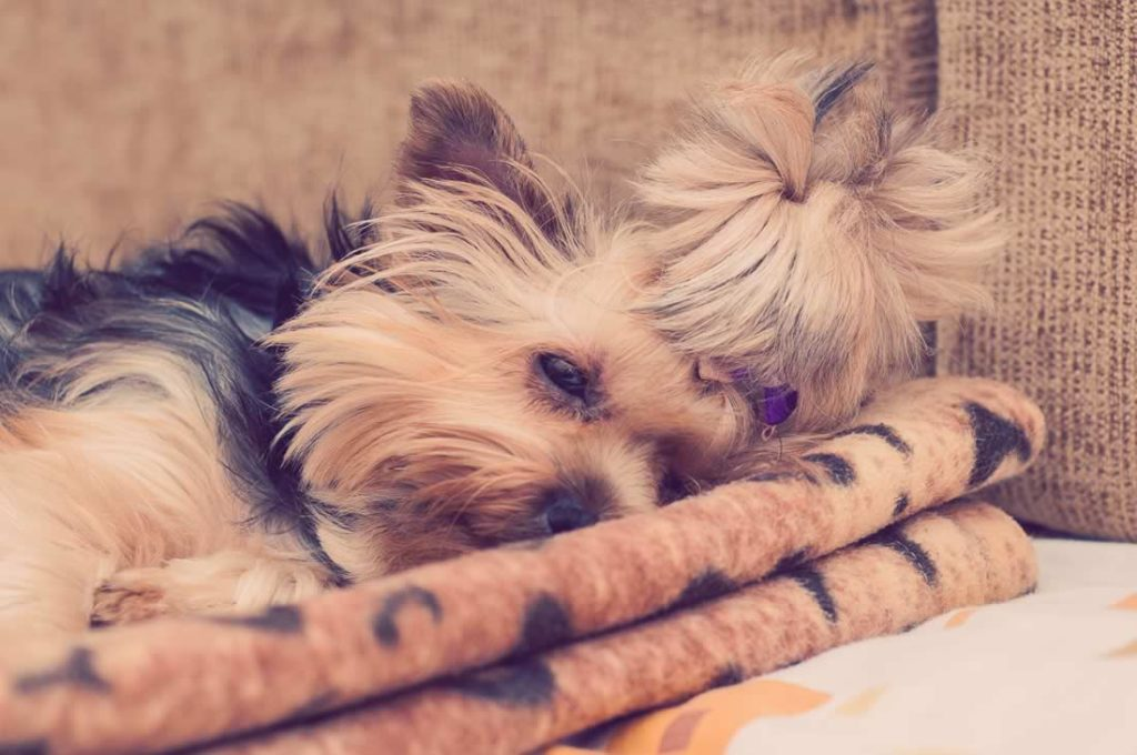 Finding The Right Home Rocky Mountain Yorkie Rescue