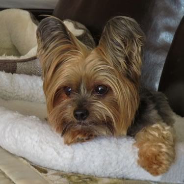 Adopted Yorkies Archives Rocky Mountain Yorkie Rescue